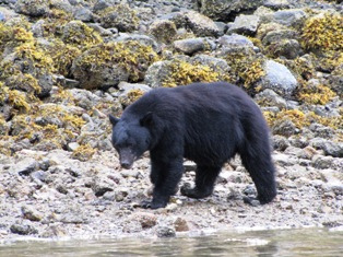 coastal-black-bear