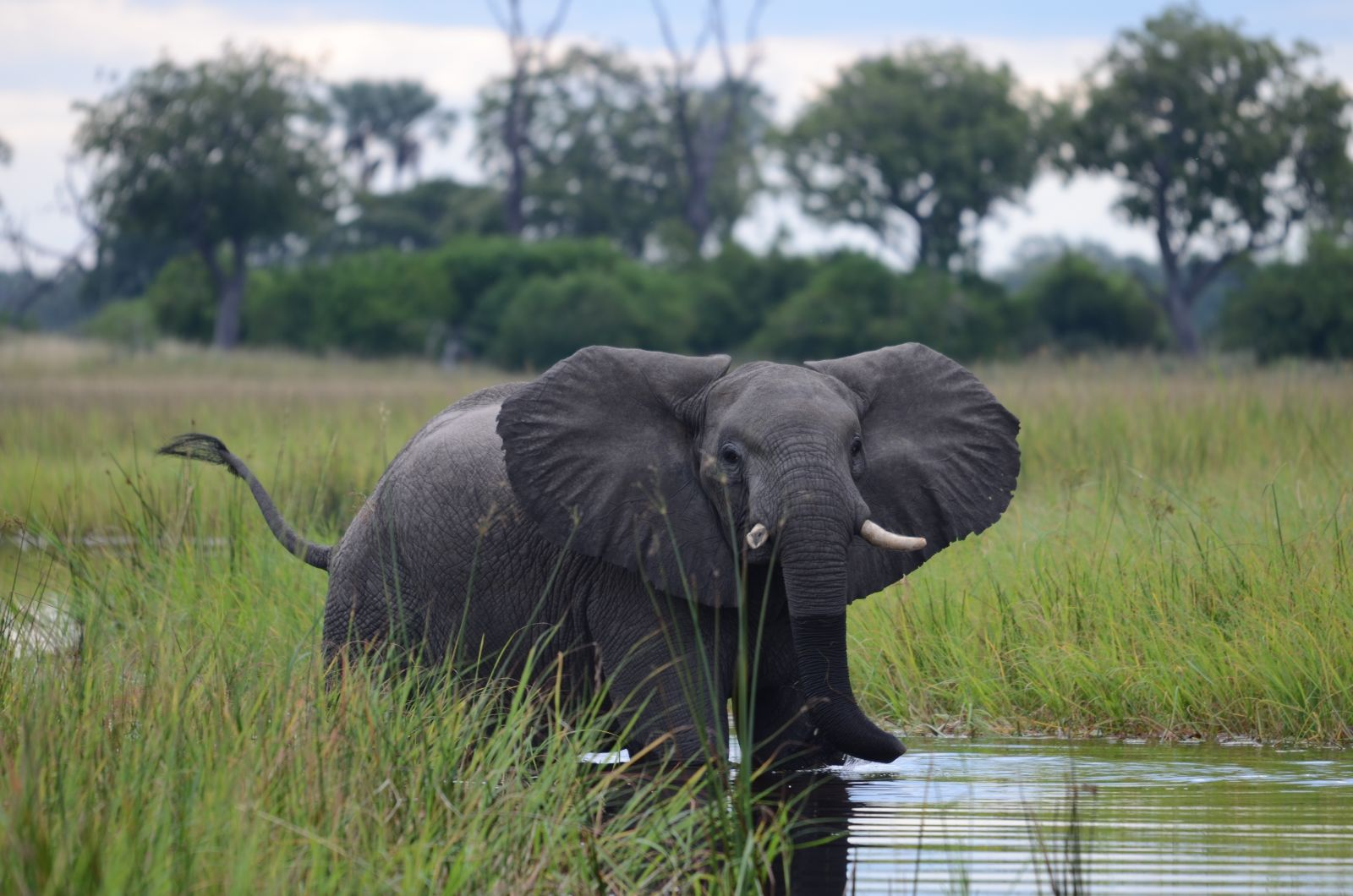 Olifant Botswana